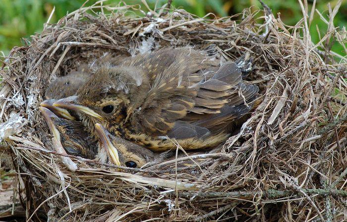 Drozd zpěvný, turdus philomelos (ptáci, aves)