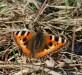 Babočka kopřivová (Motýli), Aglais urticae (Lepidoptera)