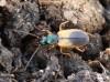 střevlíček ošlejchový (Brouci), Anchomenus dorsalis, Carabidae (Coleoptera)