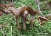 liška nálevkovitá (Houby), Cantharellus tubaeformis (Fungi)