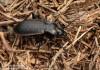 střevlík zahradní (Brouci), Carabus hortensis, Carabidae, Carabinea (Coleoptera)