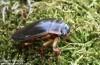 potápník vroubený (Brouci), Dytiscus marginalis (Coleoptera)