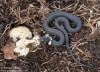 Užovka obojková (Plazi), Natrix natrix (Reptilia)