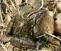 skokan hnědý (Obojživelníci), Rana temporaria, Ranidae, Anura (Amphibia)