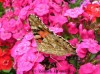 Babočka bodláková (Motýli), Vanessa cardui (Lepidoptera)